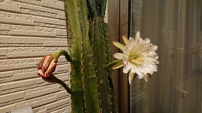 2日目に咲いたサボテンの花