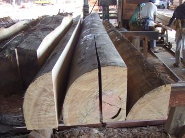 セランガンバツ原木
